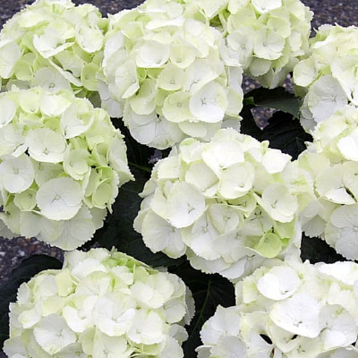 Creamy white with a hint of green - gotta love white Hydrangeas!